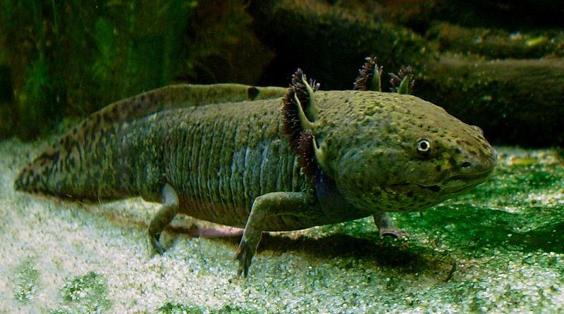 Axolotl ganz.jpg