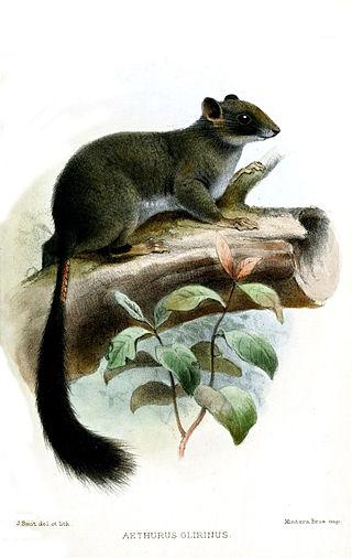 Aethurus glirinus.jpg