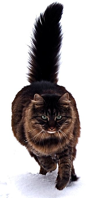 Maine Coon cat by Tomitheos.JPG