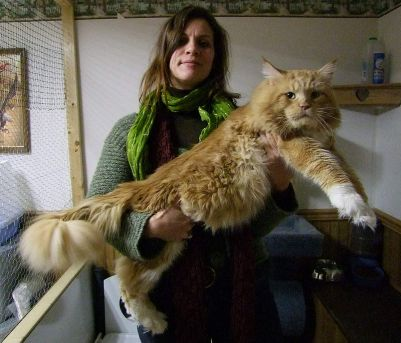 Maine coon red tabby white of 10 kg.jpg