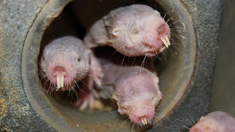 Estas criaturas desnudas pueden sobrevivir casi 20 minutos sin oxígeno 'convirtiéndose' en plantas