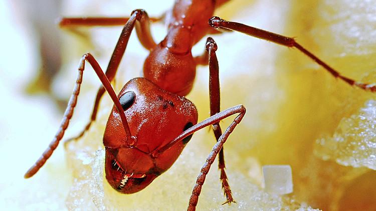 La increíble manera en que las hormigas rojas se salvan de Harvey en EE.UU. (VIDEO, FOTO)