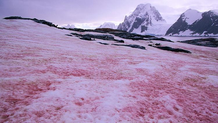 'Nieve sanguinolienta': un fenómeno para temer (FOTOS)