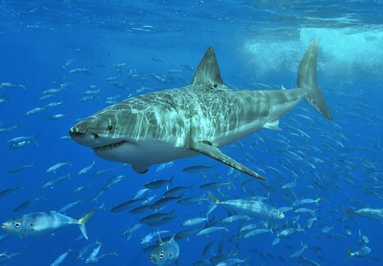 800px-White_shark.jpg
