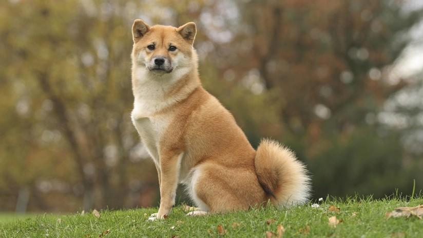 """Se viraliza un video en el que un perro dice """"hamburguesa"""" y """"comer"""" en japonés"""