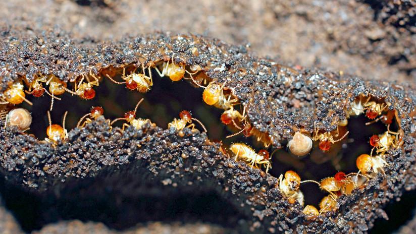 Hallan colonias de termitas hembras que se reproducen sin ayuda de machos