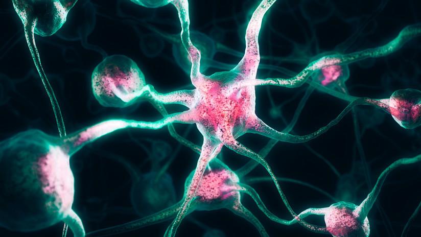 Cultivan un 'minicerebro' con actividad neuronal coordinada